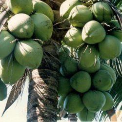 Coconuts – O nosso COCO